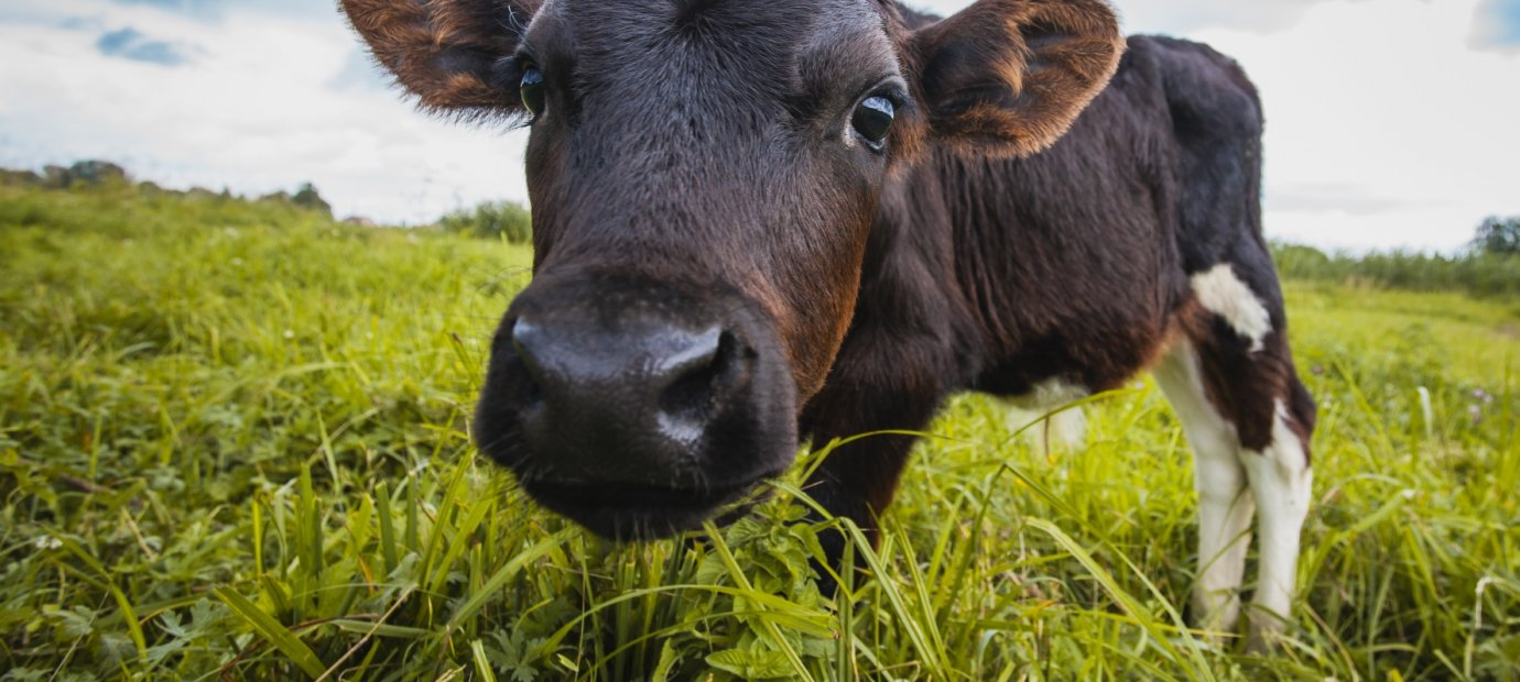 why-cows-moo-cow-facts