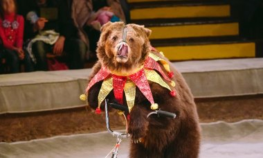 circus-animals-turned-trainers-bear