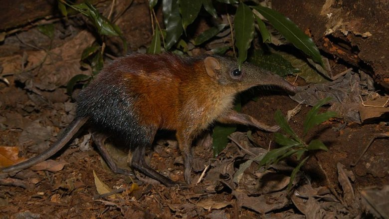 A gray-faced sengi