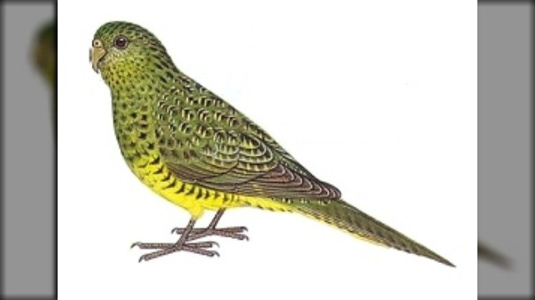 A night parrot