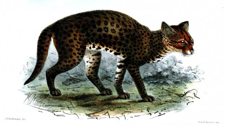 An African golden cat
