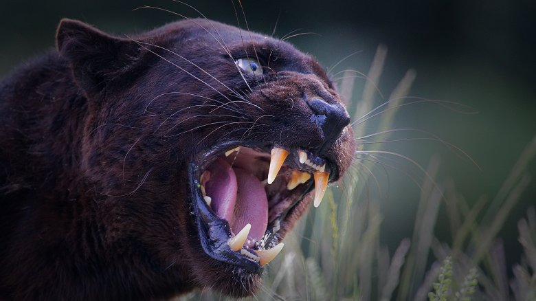 black panther snarling