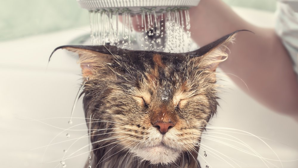 The Cat Breed That Actually Likes Water