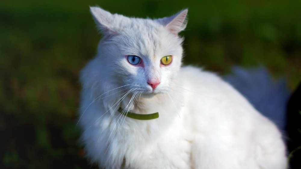 The most loyal cat breed in the world