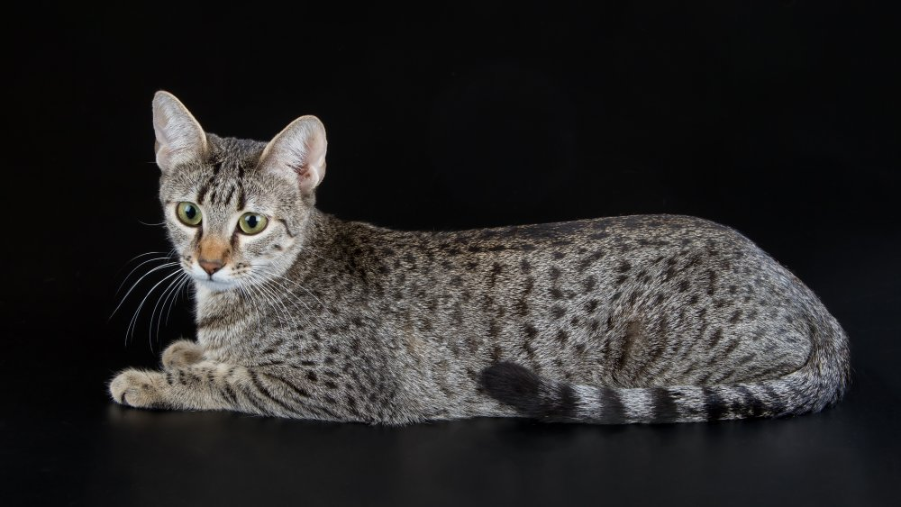 Egyptian Mau at rest, for now
