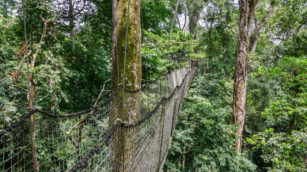 suspended canopy in Nigerian rainforest