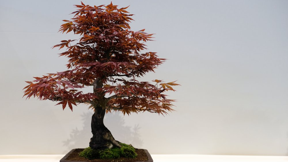 This Is The Oldest Bonsai Tree In The World